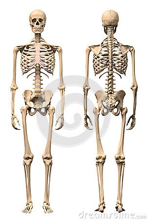 Male Human skeleton, two views, front and back. | References ...
