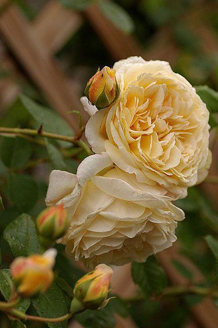 ♔ 'Teasing Georgia' roses - spectacular cabbage rose.