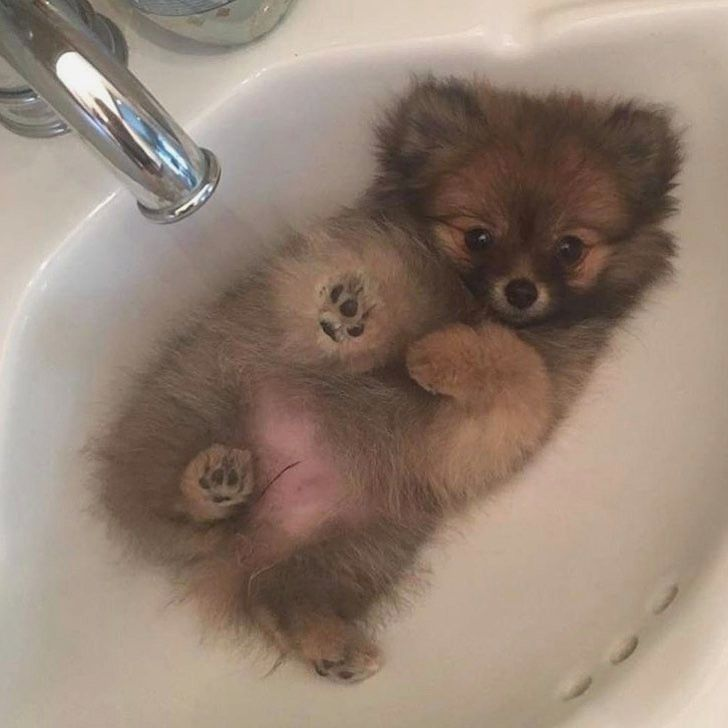 Pomeranian Dog Dogs Puppy Puppies Small Dogs Cute Dogs Dog