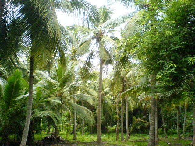 Aqua Farming Is Killing The Coconut Industry In Godavari District