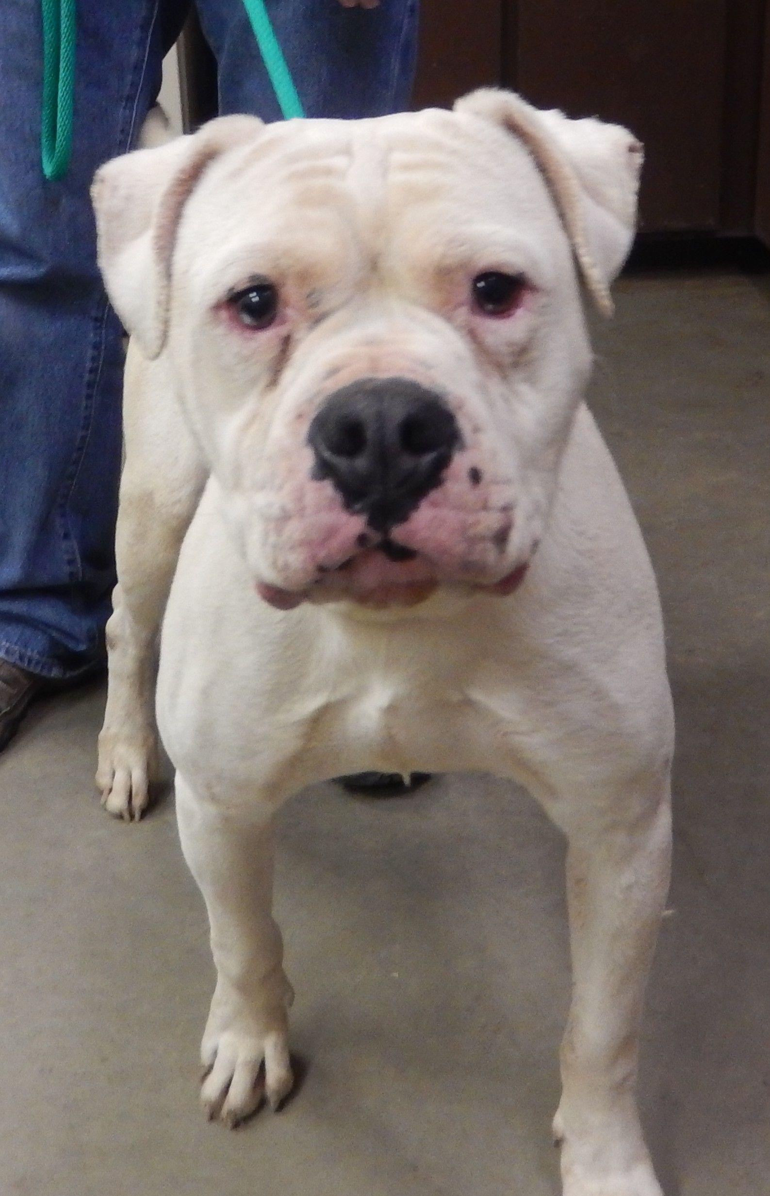 American Bulldog dog for Adoption in Amarillo, TX. ADN