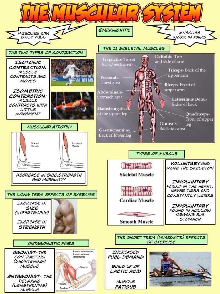 TTC PE on | Muscular system, Gcse pe and Twitter