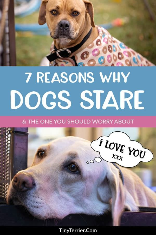 Why does my dog stare at me? Dog staring explained Dogs