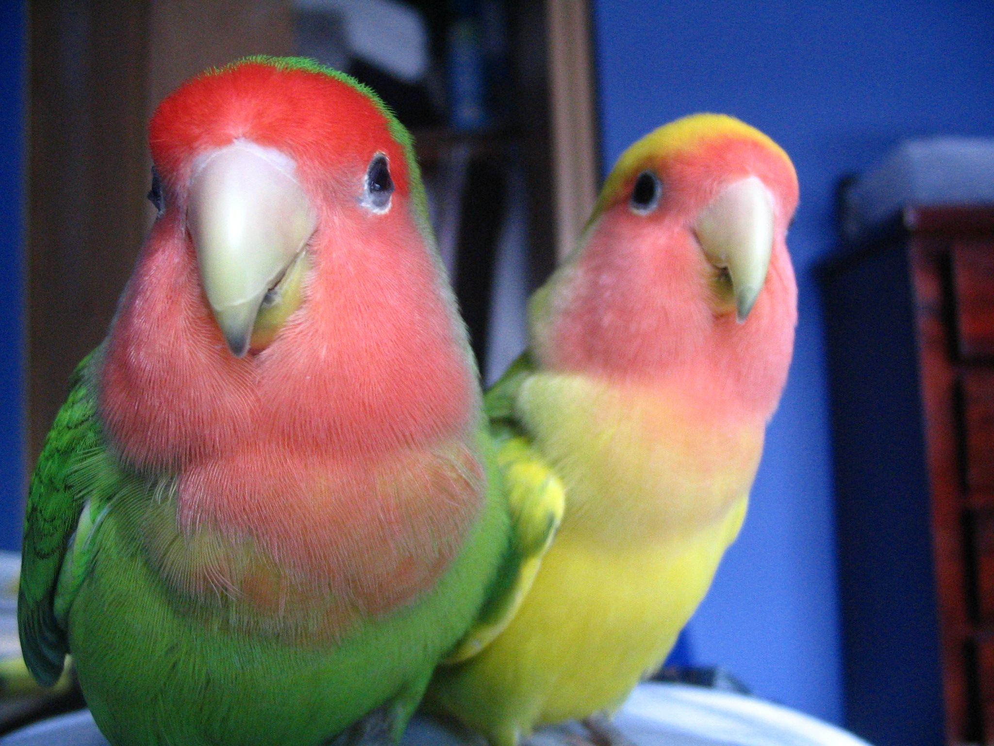Citaten Love Bird : Peach faced lovebirds wild type and pied green mutation