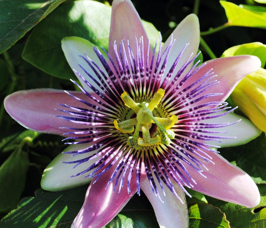 Purple Passion Fruit Flower Passion Fruit Flower Passion Fruit Purple Passion Flower