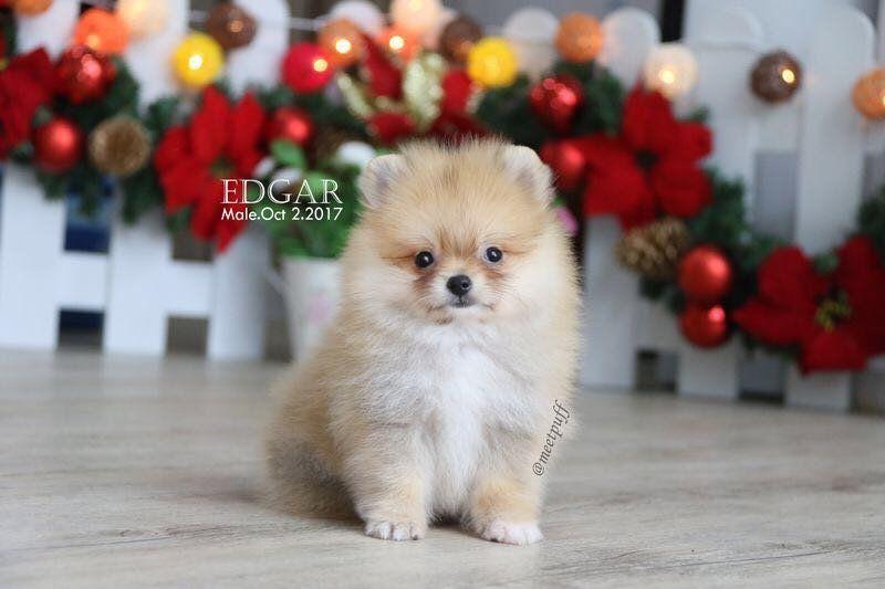Dijual Anjing Pomeranian Jual Anakan Anjing Pomeranian Lokasi