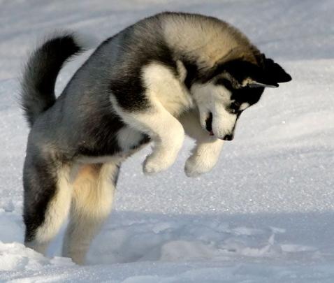 Husky Pomeranian Mix Pomsky Pictures About Pomeranian Mixed With