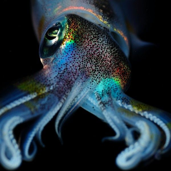 Animals, Squid 2048 X 2048 IPod 3 Wallpapers, Backgrounds