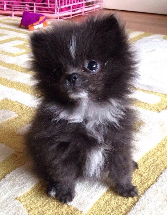 Adorable Little Fluffy Black Baby Pomaranian Puppy - Aww ...