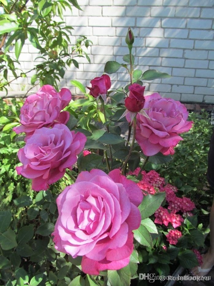 colourful-mystic-rainbow-rose-bush-flower.jpg (698×931)