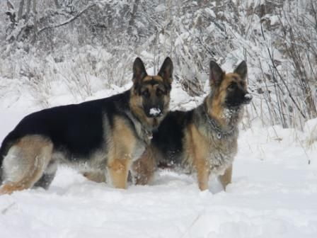 Colorado German Shepherds Crystal Creek Shepherds Denver Colorado