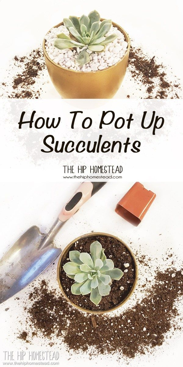 Photo of How to Pot Up Succulents – The Hip Homestead