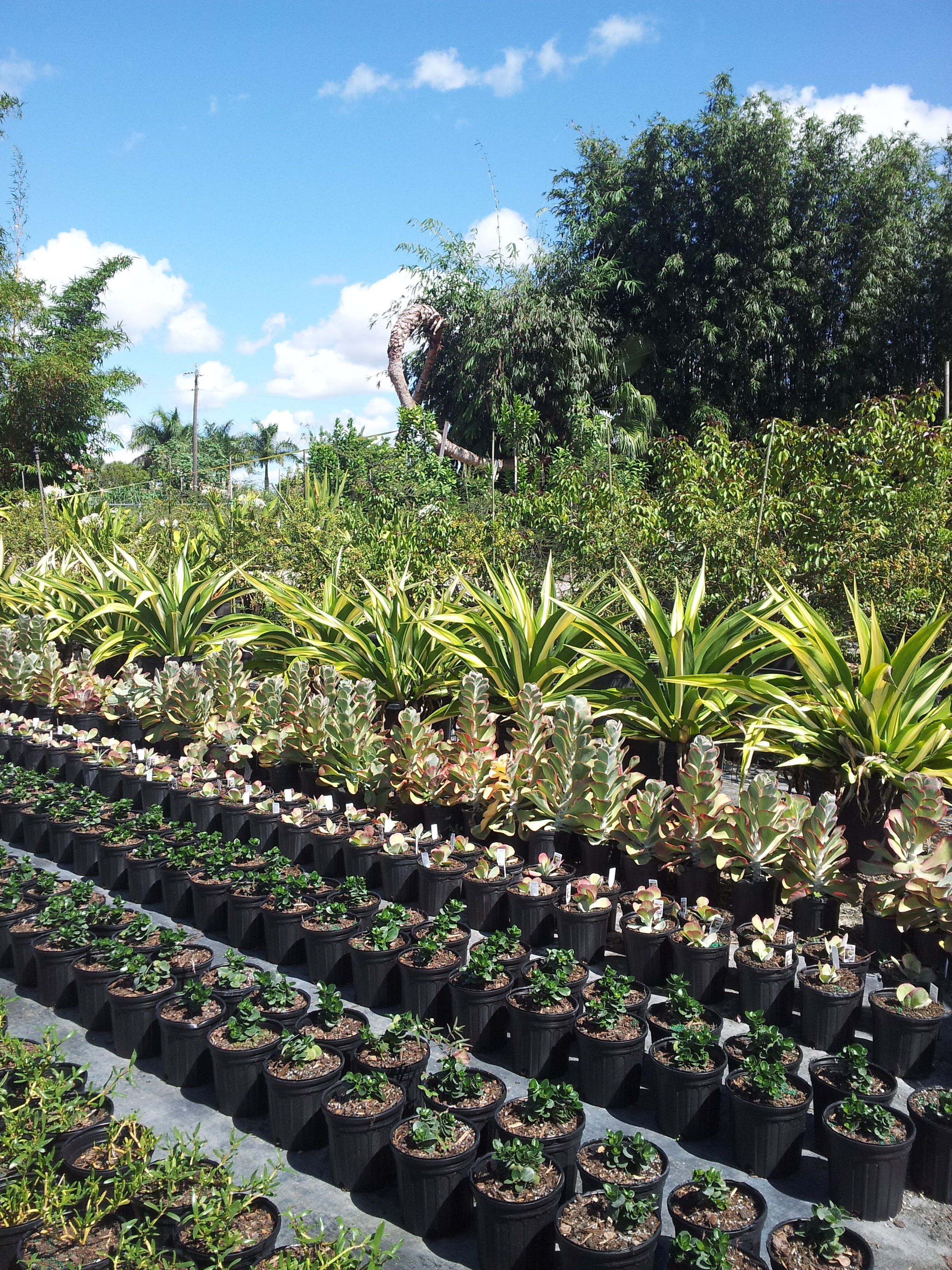 Whole Plant Nursery Supplieaterials Homestead Plants Liners Realpalmtrees Palm Growers And Suppliers