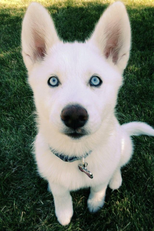So precious white siberian husky puppy adorable pinterest white siberian husky puppy voltagebd Image collections