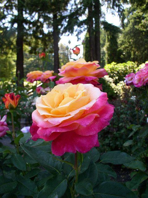 Portland Irt Gardens Rose Garden Portland Beautiful Flowers Beautiful Roses