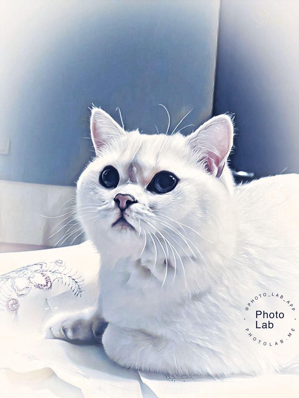 Pin De Denis Em Marzipan Silver Shade British Shorthair Blue Eye Cat