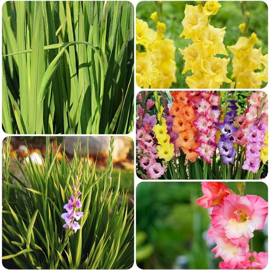 Gladiolus from latin the diminutive of gladius a sword
