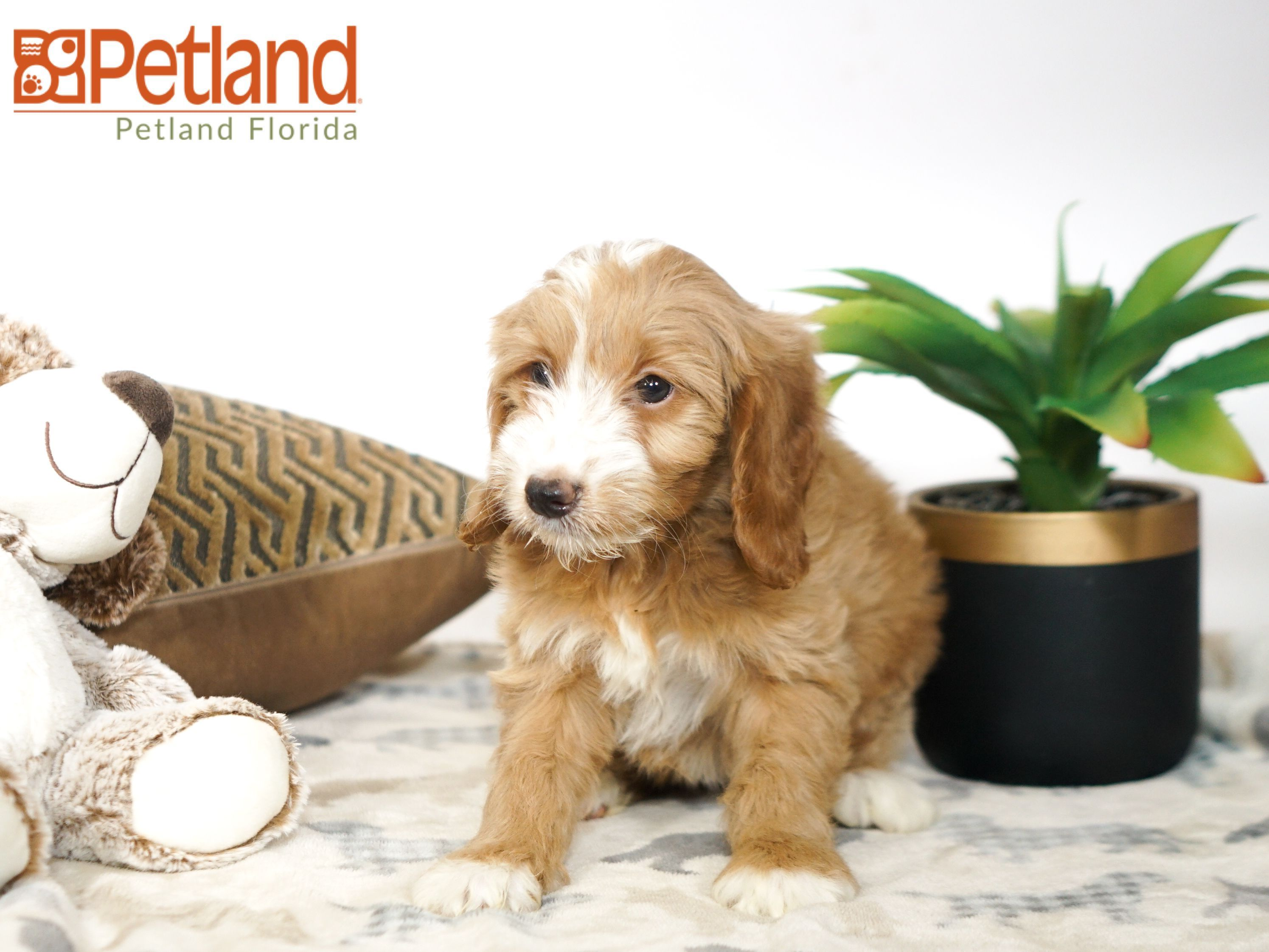 Puppies For Sale Puppy Friends Miniature Goldendoodle Puppies Goldendoodle Puppy For Sale
