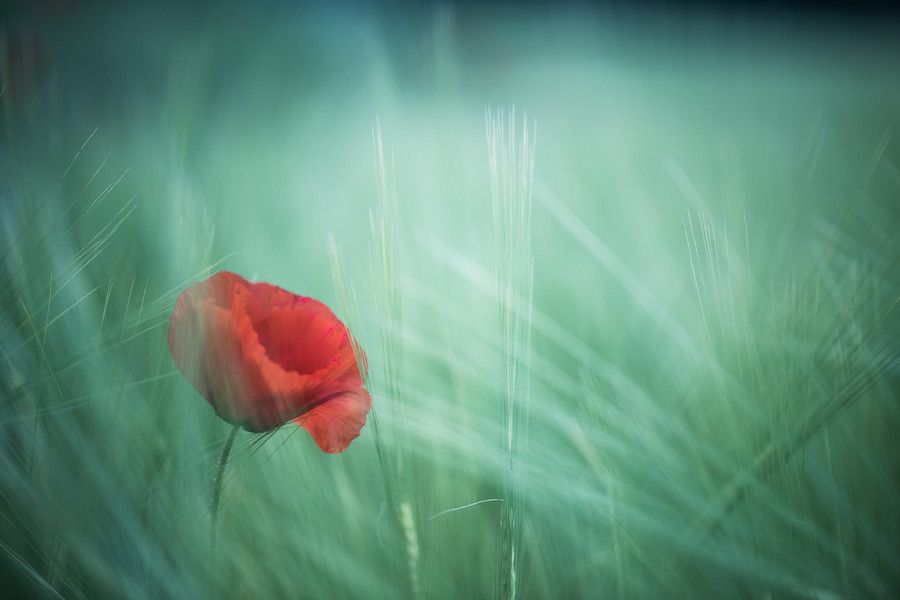Poppies, wheat and wind