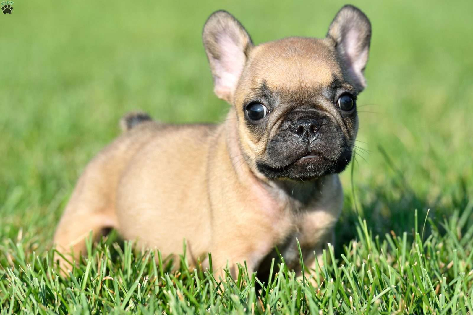 French Bulldog Puppies For Sale Frenchie Puppies French