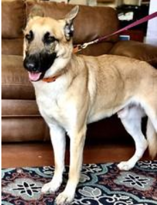 Adopt Shep A Friendly Belgian Malinois Rescue Dogs Dogs Puppy Adoption