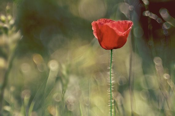 Free Shipping Photography Red Poppy Flower by RobertoLupiniPhoto