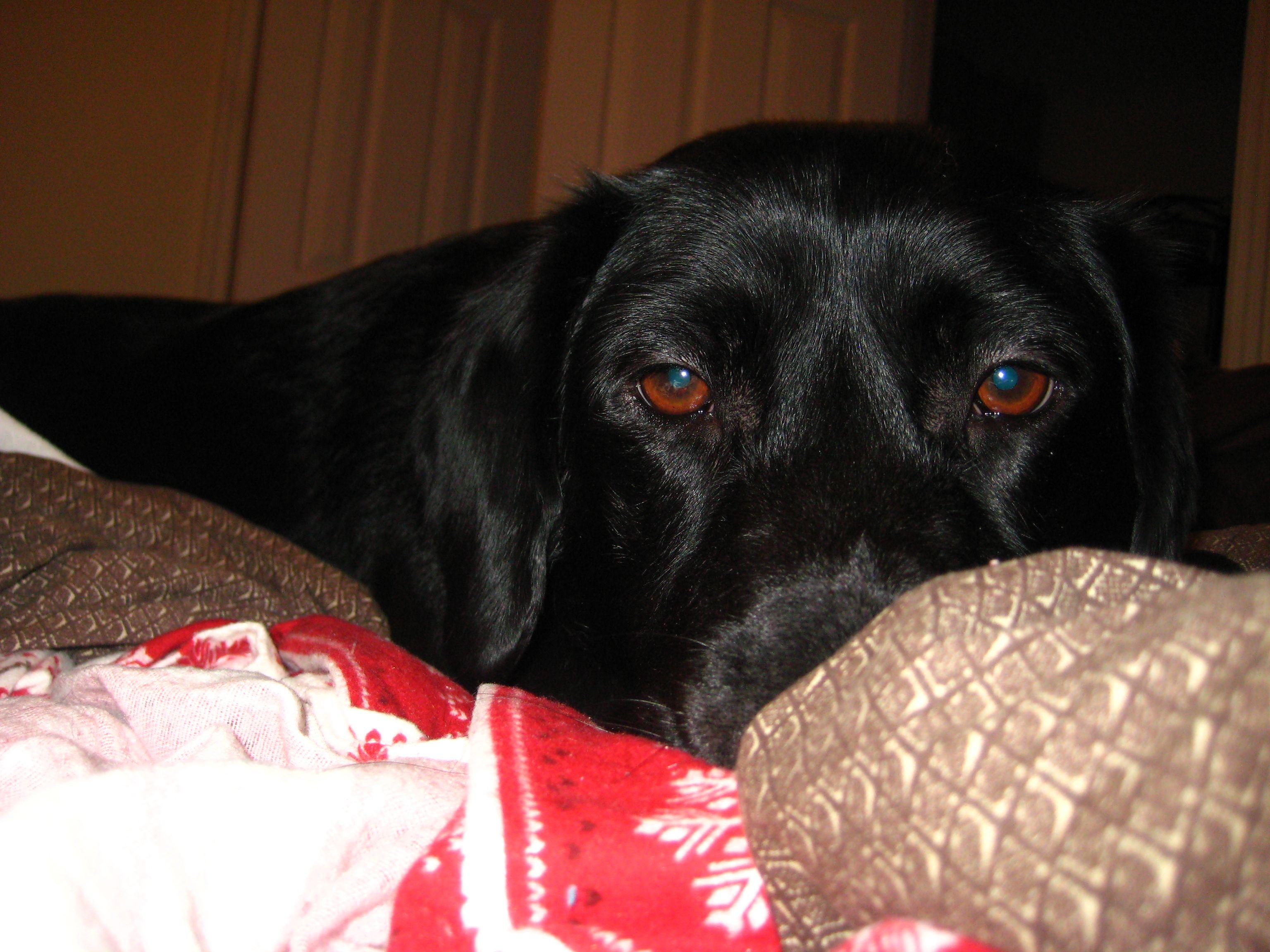 Good Labrador Retriever Black Adorable Dog - 1d9b417b23a99e1634e0c3677d4b7f12  Snapshot_344723  .jpg