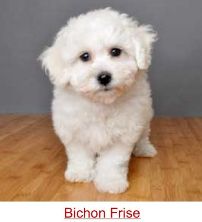 Bichon Frise My Beloved Puffy Was A Bichon Poo His Mom Was Full
