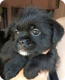Los Angeles Ca Pomeranian Shih Tzu Mix Meet Cubbie A Puppy For Adoption Http Www Adoptapet Com Pet Puppy Adoption Pet Adoption Pomeranian For Adoption
