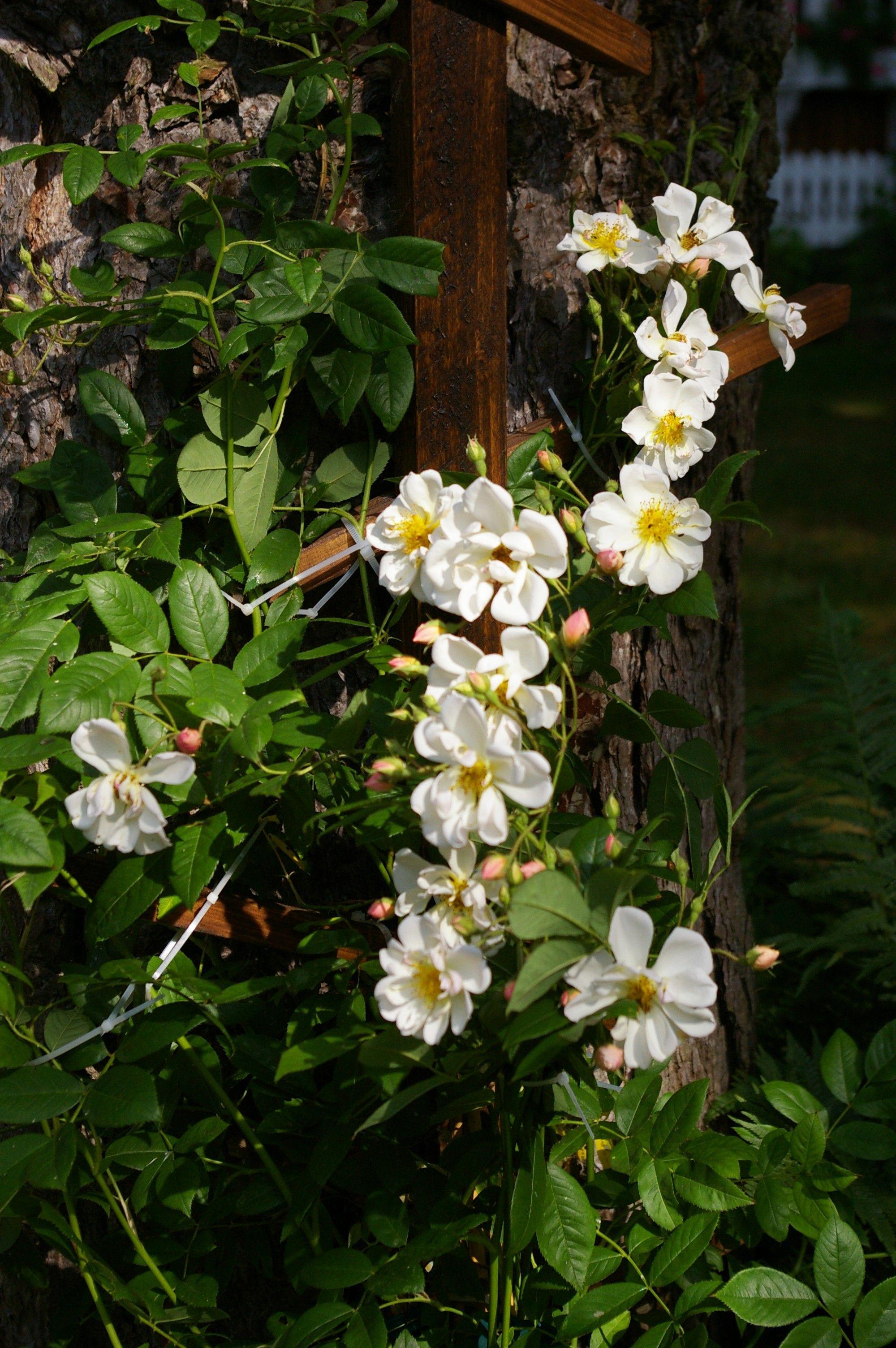 Bilder aus dem eigenen Garten. Ramblerrose Lykefind.