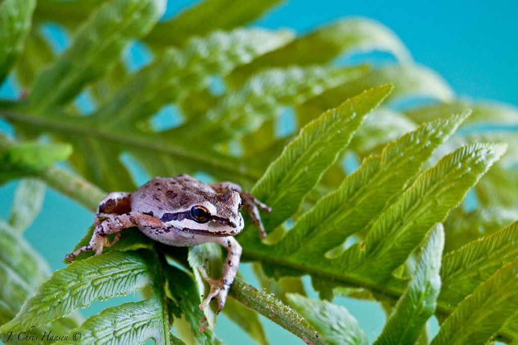 A Pacific Tree Frog from my backyard. Mendocino County ...