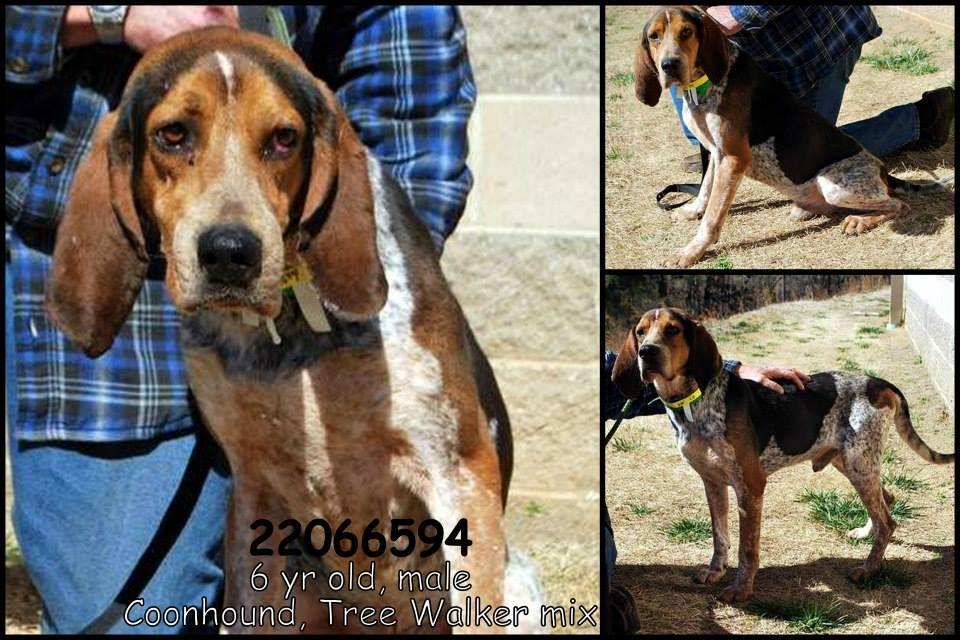 Bluetick Coonhound M 6 years 22066594 in Gainesville, GA