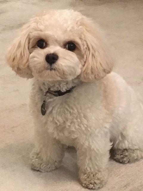 View our current litter of Cavachon and Cavapoo puppies with