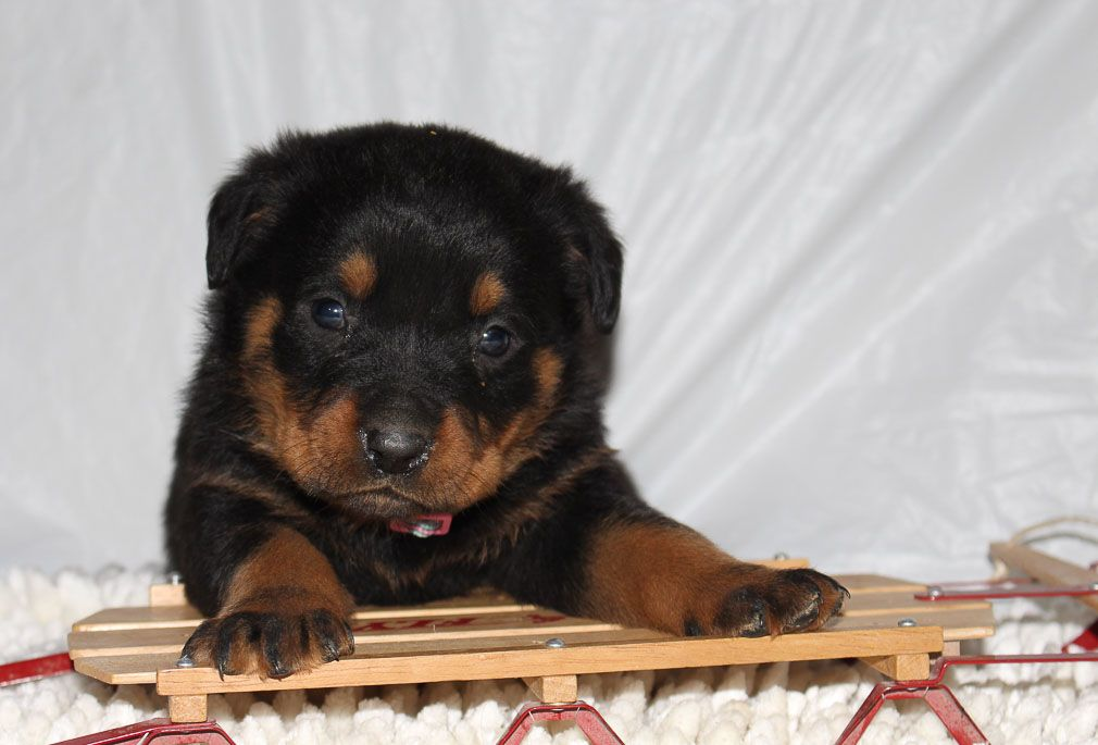 Caitlyn Puppy For Sale Dog Breeds Puppies Rottweiler