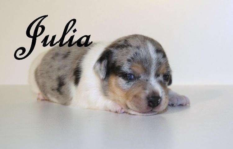 Blue Merle Jack Russell Berlin Mitte Jack Russell Terriers Jack Russell Terrier Hundebabys