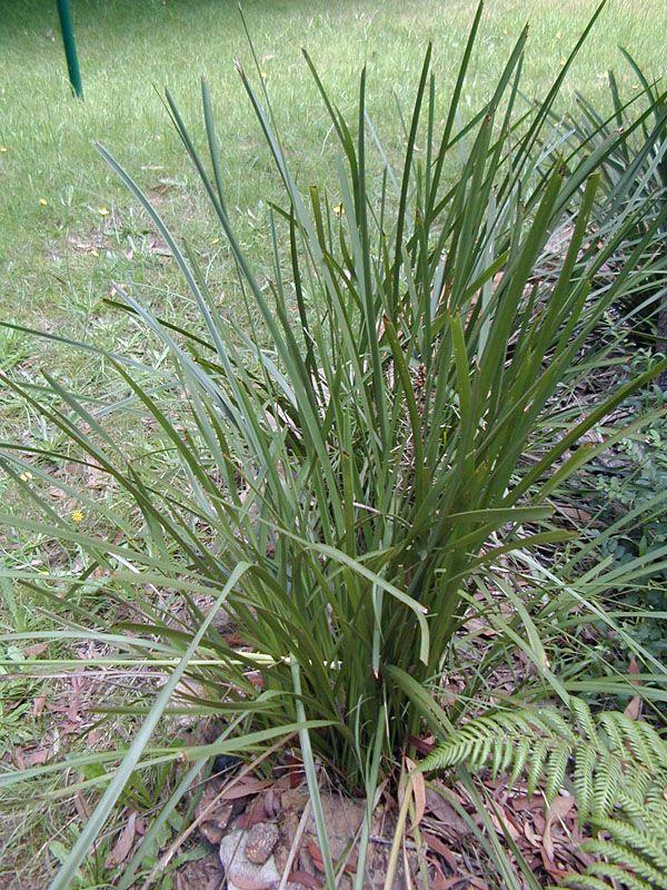 Lomandra Longifolia Mat Rush Plants Sensory Garden Lomandra