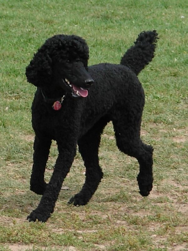 Black Standard Poodle 09 By Fantasystock They Are So Graceful