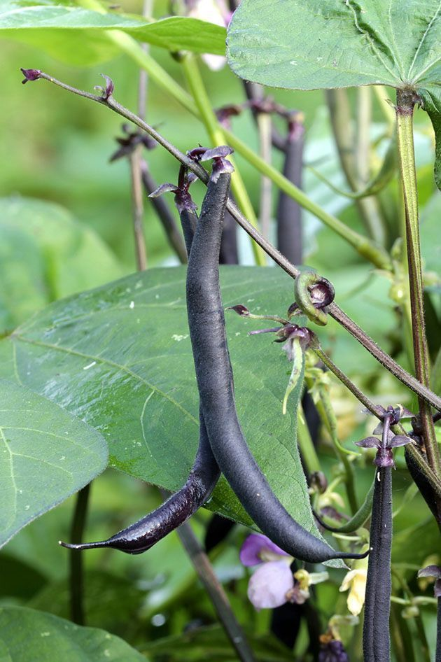 How to Grow Beans For Maximum Production Growing beans