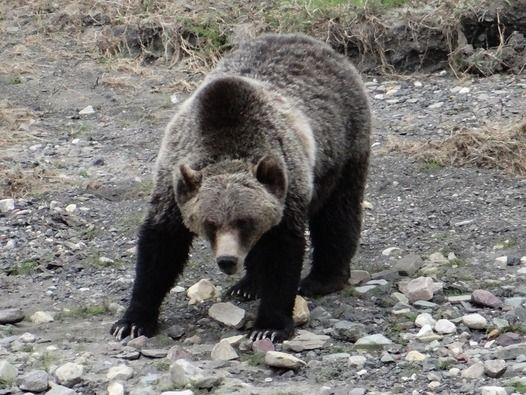 grizzly beat