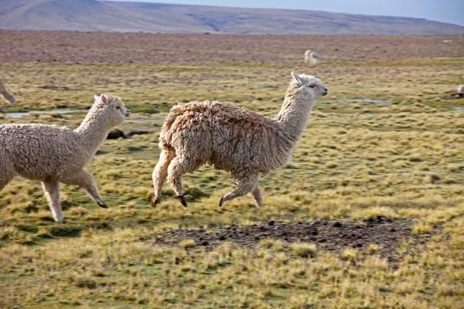 FUNNY LLAMAS!!! Peru Backpacking Guide - Must-See Places, Highlights & Lowlights - IndieTraveller