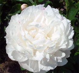 Pioni Ann Cousins kukkii poikkeuksellisen myöhään, vasta elokuussa. Niille, jotka ovat usein heinäkuun (pionien perinteinen kukkimisaika) poissa..