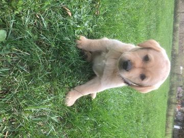 Litter Of 3 Labrador Retriever Puppies For Sale In Greenville Mi