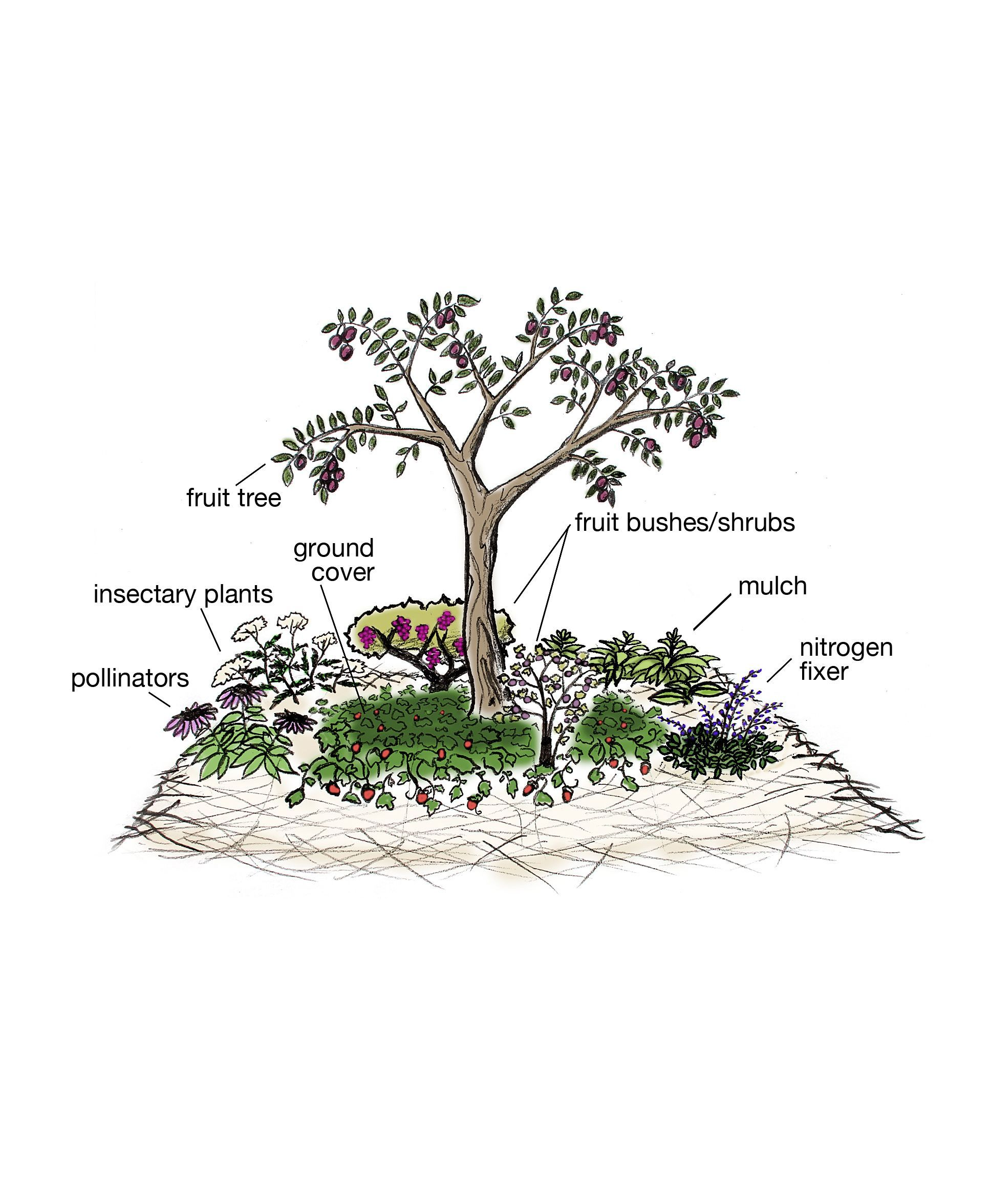 Companion Starting Planting Ecologia Forest Fruit Food Tree Via Astarting A Food Forest Fruit Fruit Trees Permaculture Gardening Food Forest Garden