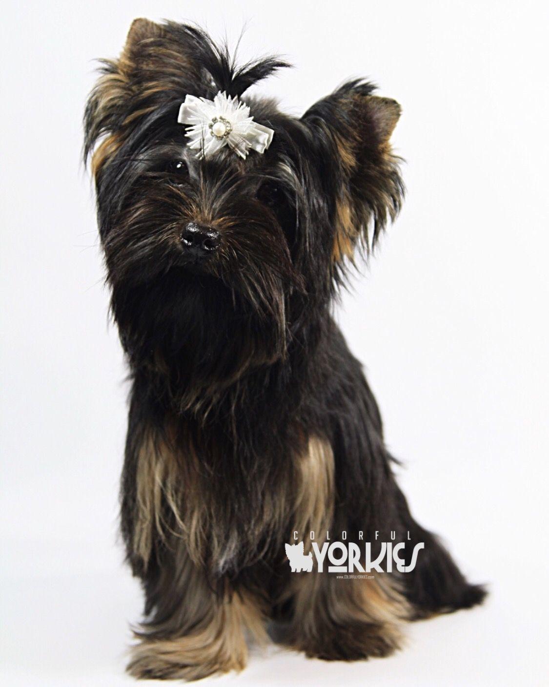 Black Traditional Princess Www Colorfulyorkies Com Yorkie
