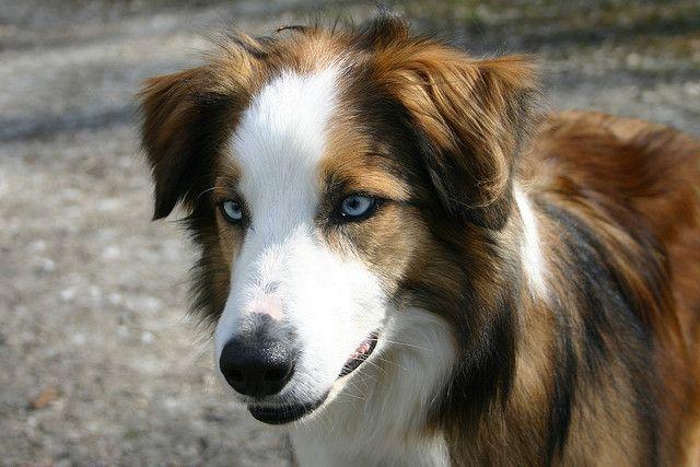 Img 3427 Unique Dog Breeds Welsh Sheepdog Best Dog Training