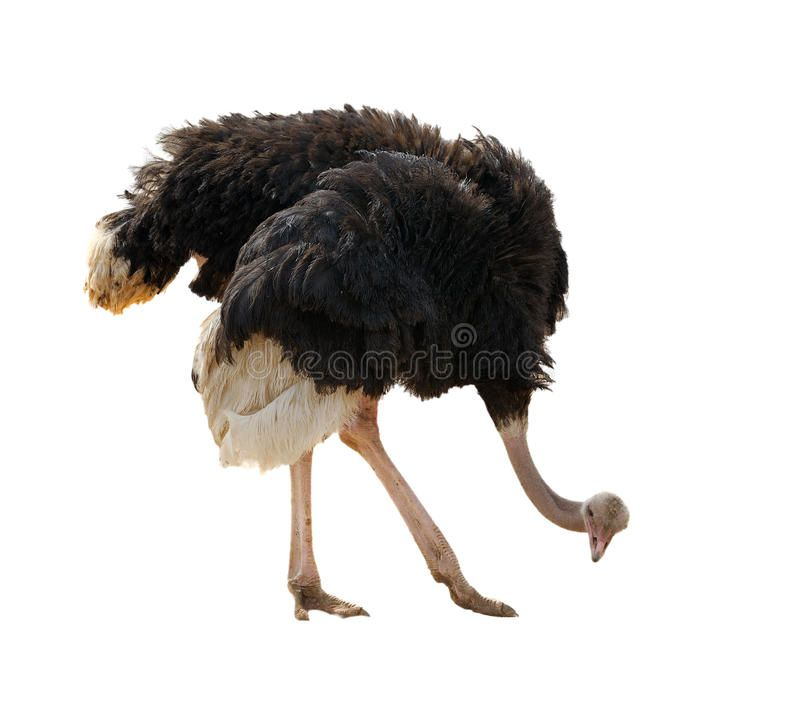 Ostrich, isolated. Ostrich at the zoo, looking at something on the ground ,