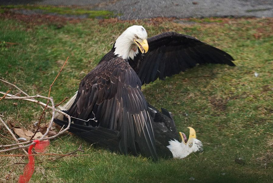 Bald Eagles Fighting in Vancouver Bald eagle, Best funny