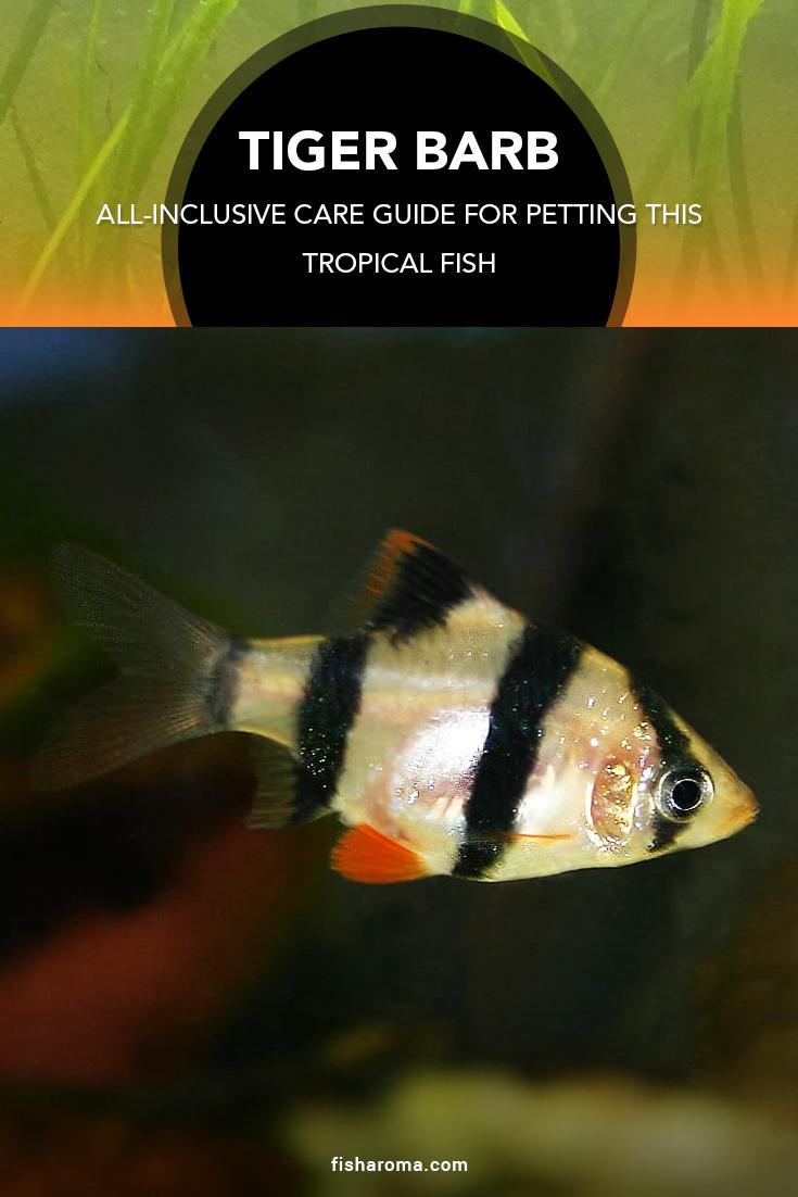 Tiger Barb All Inclusive Care Guide For Petting This Tropical Fish Tiger Fish Fish Tropical Fish Aquarium