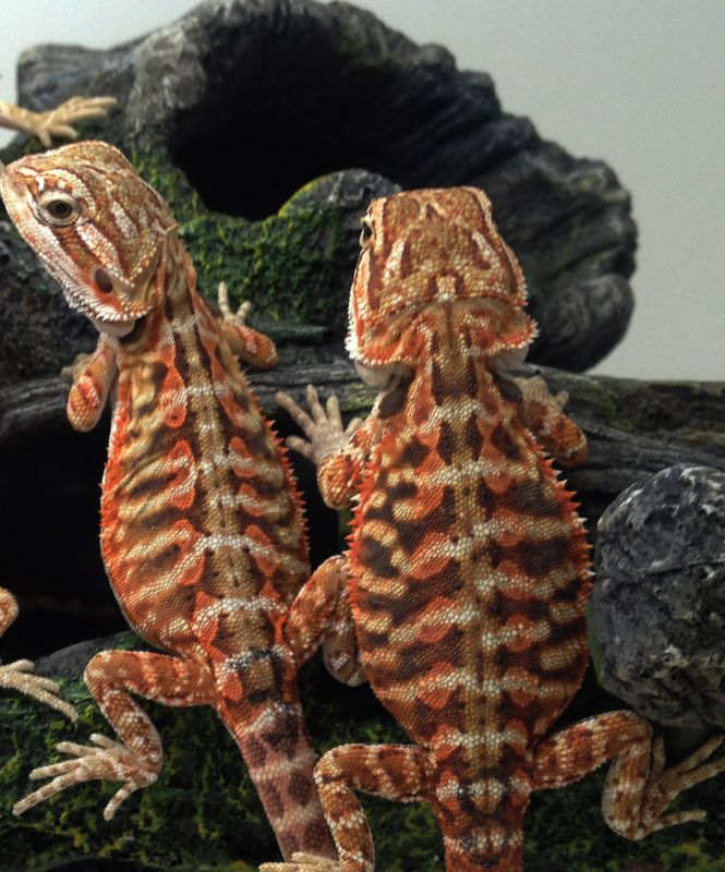 20+ Different Types Of Bearded Dragons With Colors