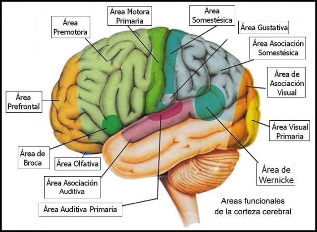 áreas Funcionales De La Corteza Cerebral Anatomia Del Cerebro Humano Corteza Cerebral Estructura Del Cerebro